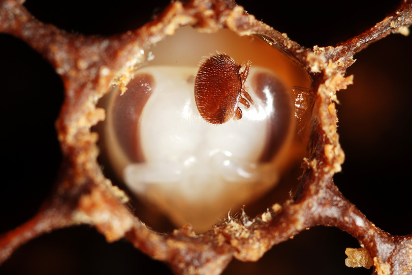 Images with Impact: The Great British Bioscience Imagery Competition now open for entries, Honey bee and Varroa mite. Rothamsted Research